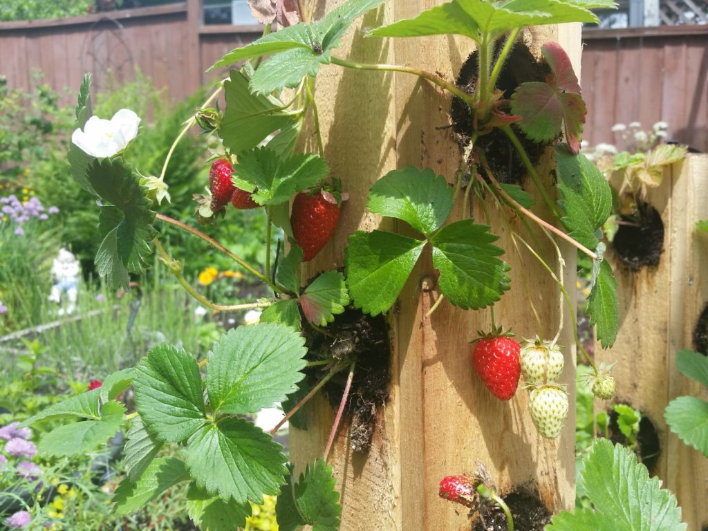 Strawberry Towers Without PVC